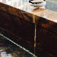Photography: Duck